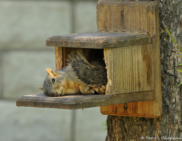 This is the second of four images of a Fox Squirrel that was photographed on March 22, 2015 in my backyard.I was fearful she was dead, or injured, but she was just napping in the munch box and when I offered her peanuts, she happily got up and ate them!