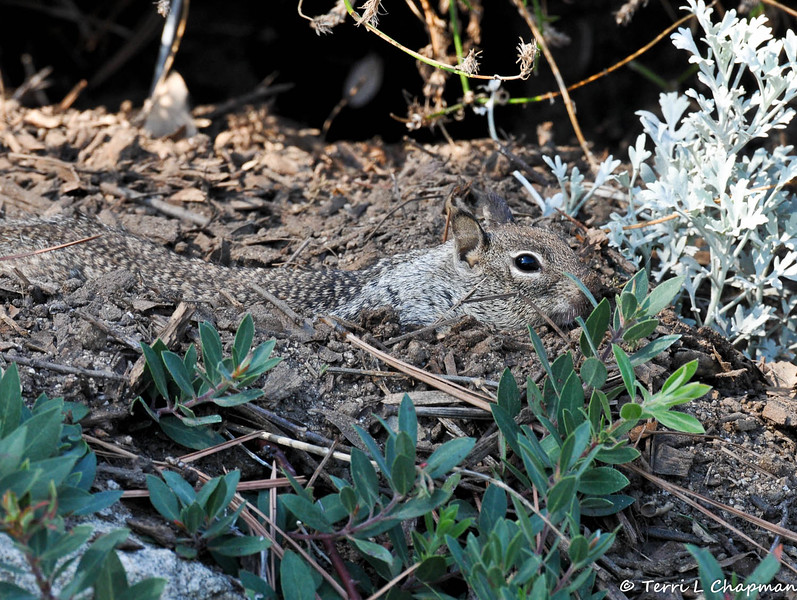 A Ground Squirrel digging in the dirt to stay cool