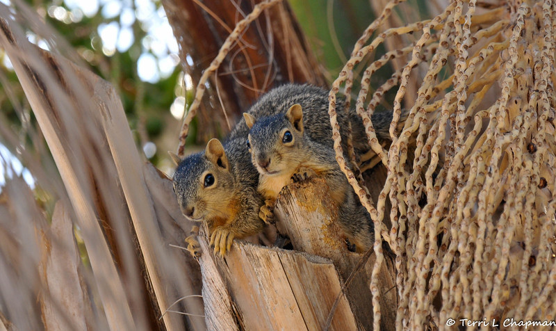 Two baby Fox Squirrels peeking out from their nest, high above, in my neighbors Palm tree