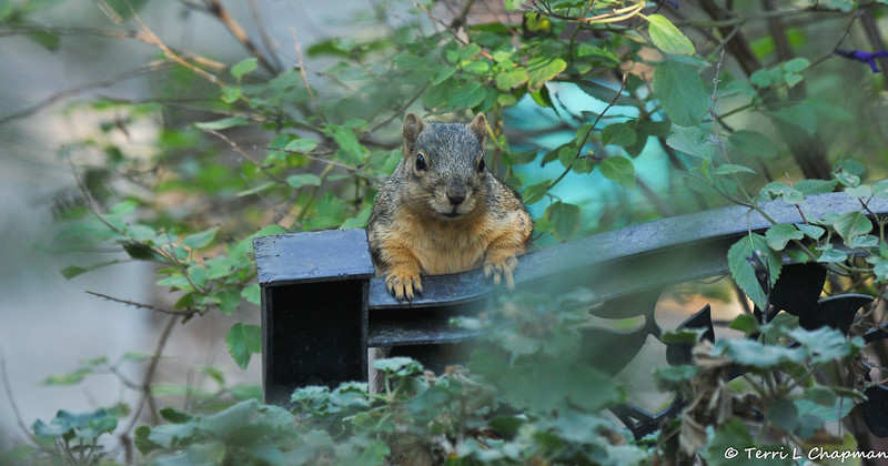 A Fox Squirrel hanging on to a plastic fence piece in my garden while looking for a hand out!