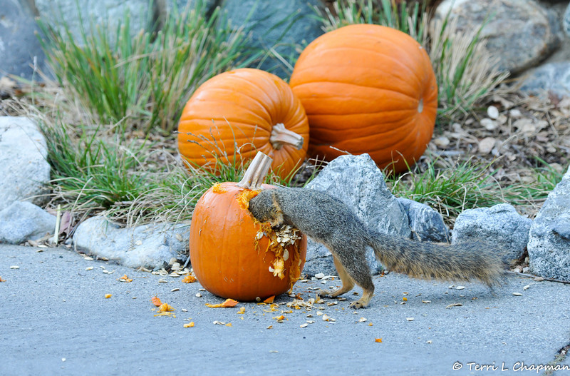 A Fox Squirrel going inside of a pumpkin to grab some seeds from a pumpkin that was part of a Halloween display at Descanso Gardens