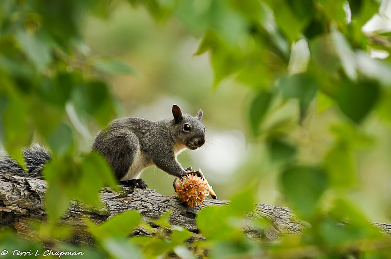 A Grey Squirrel eating a pinecone in the Angeles National Forest