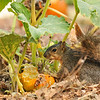 A Fox Squirrel having a breakfast of pumpkin