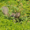 A Ground Squirrel in a field of wildflowers
