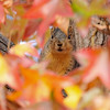 A Fox Squirrel surrounded by the Autumn leaves of a Sweet Gum tree