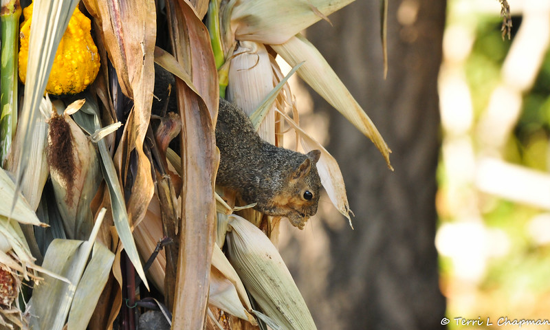 A Fox Squirrel eating parts of the Autumn display at Descanso Gardens.