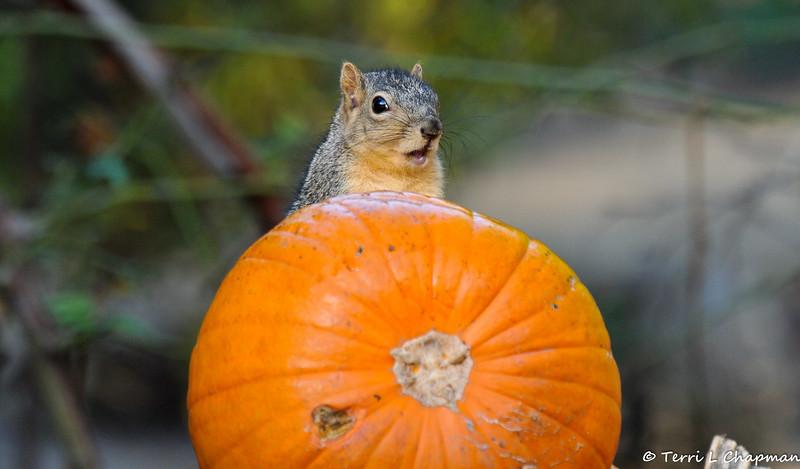 A female Fox Squirrel enjoying the Autumn display at Descanso Gardens.