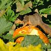 A juvenile Fox Squirrel snacking on a squash