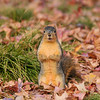 A Fox Squirrel among the fallen leaves of a Sweet Gum tree