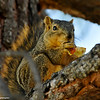 I watched this Fox Squirrel, in a local park, go into the trash can and pull out a piece of pizza, run up the tree, and start to eat it! Looks like it has pepperoni on it!