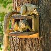 Two Fox Squirrels playing my munch box