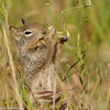 A Beechy ground squirrel enjoying the weeds. Doesn't she look like she is smiling?!