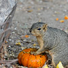 A Fox Squirrel enjoying the edible Autumn display at Descanso Gardens