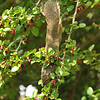 A female Fox Squirrel enjoying the ripe berries in the Mulberry tree