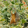 A baby Fox Squirrel eating the blooms off an Apricot Mallow bush.