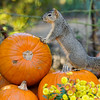 A male Fox Squirrel enjoying the Autumn display at Descanso Gardens.
