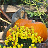 A female Fox Squirrel enjoying  the Autumn display at Descanso Gardens.
