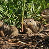 A family of baby Ground Squirrels
