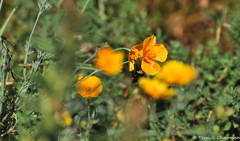 A Bumble Bee pollinating a California Poppy