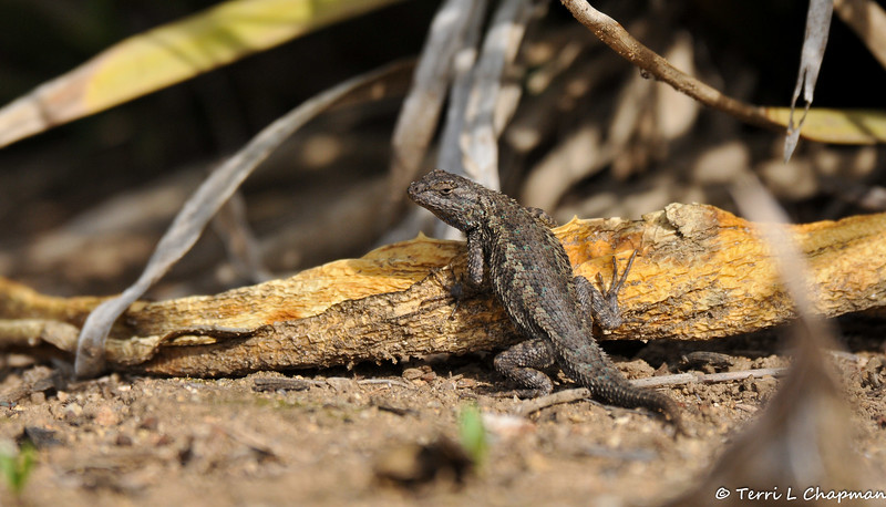 A male Western Fence Lizard