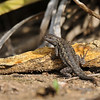 A male Western Fence Lizard
