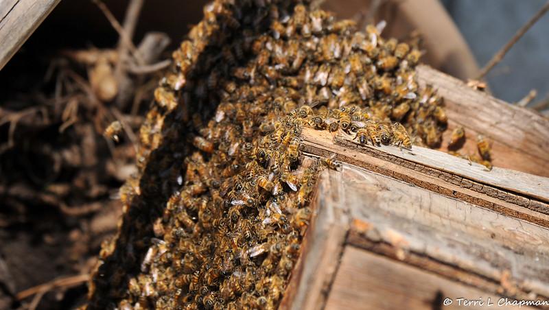Wild Honey Bees in my garden