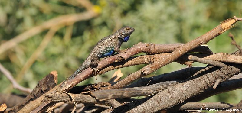 A beautiful Western Fence Lizard displaying his colors in a threatening posture