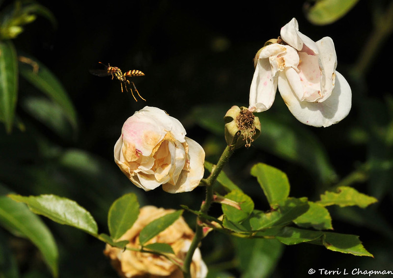 A Wasp flying off of a dead rose