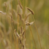 A native bee on native grass