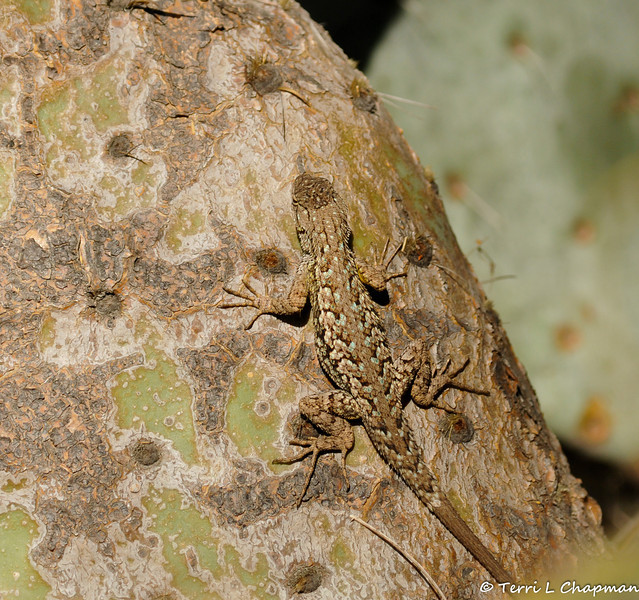 A Western Fence Lizard resting on a Prickly Pear cactus