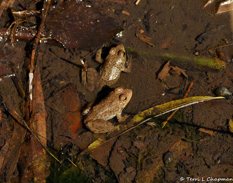 Two American Bullfrogs