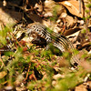 A Whiptail Lizard eating a large spider