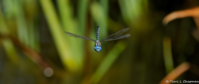 A Blue Darner Dragonfly in flight