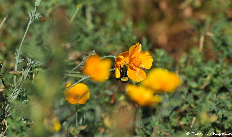 A Bumble Bee pollinating a California Poppy