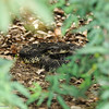 A Southern Pacific Rattlesnake coils, as he retreated from me into the brush, and I attempted to get a picture