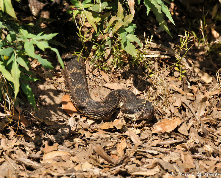 A Southern Pacific Rattlesnake coming out of a Nevin's Barberry bush.