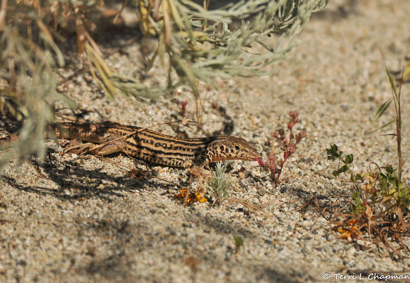 A Whiptail Lizard with its tongue out after eating an insect