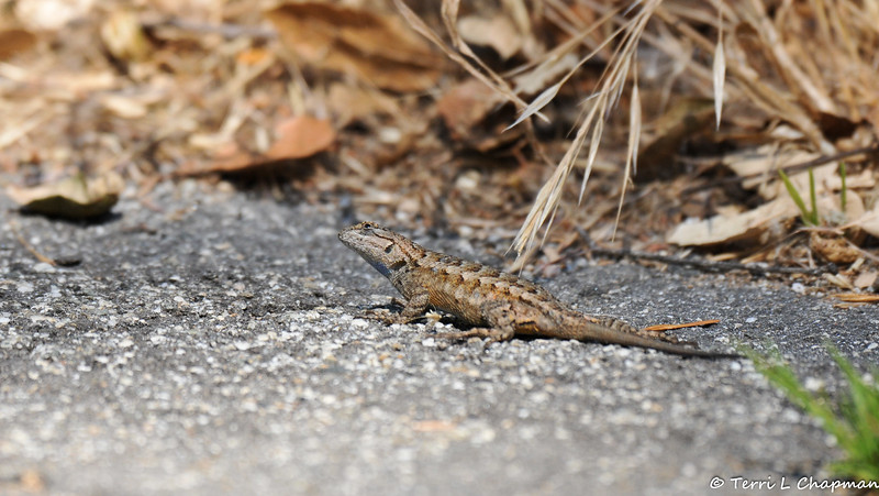 A Western Fence Lizard gazing upwards