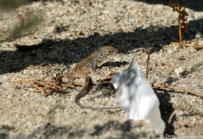 A young Whiptail Lizard looking for breakfast. The metal piece next to the lizard is a plant marker.