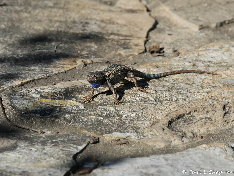 A Western Fence Lizard in a threatening position
