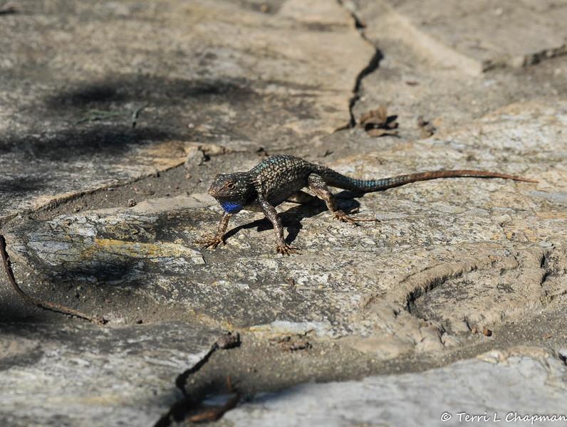 A male Western Fence Lizard in a threatening position