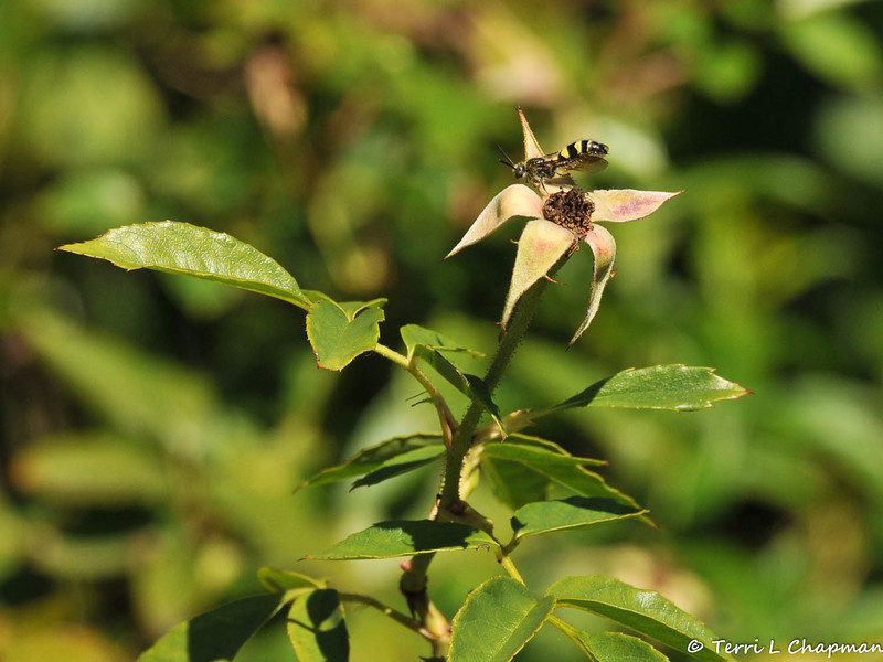 A Cuckoo Bee on a dead rosehead