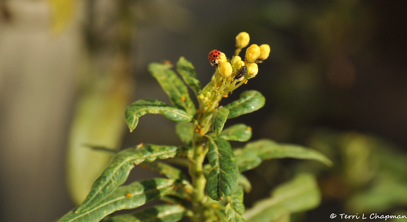 A Multicolored Asian Ladybug, and a ladybug larvae, feeding on aphids on a Milkweed plant.