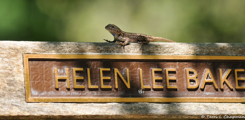 A Fence Lizard on a memorial bench at the LA Arboretum