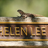 A Western Fence Lizard on a memorial bench at the LA Arboretum