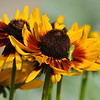 Baby Grasshopper on a Black-eyed Susan flower