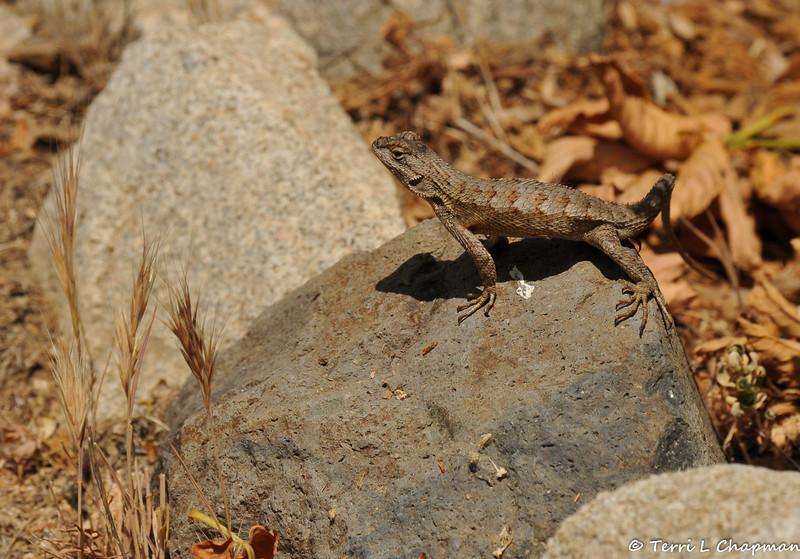 A Western Fence Lizard