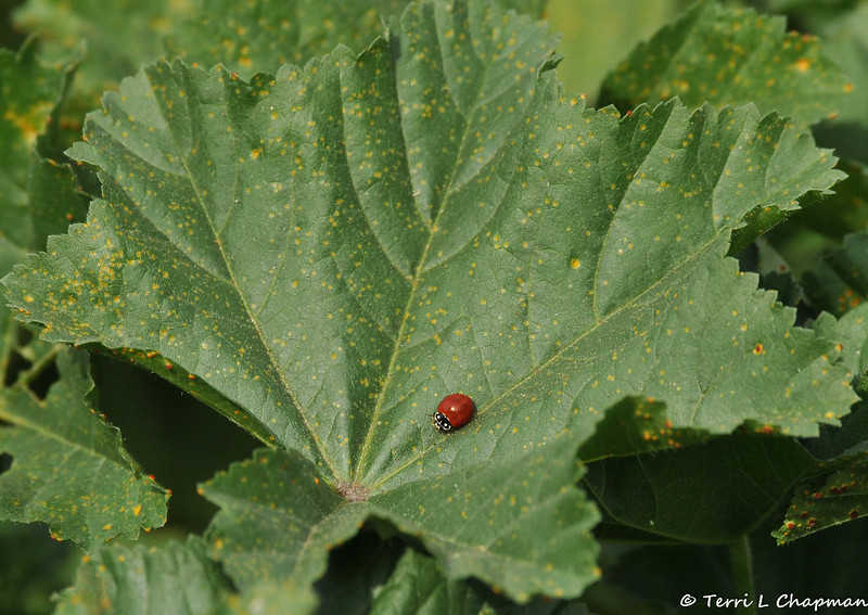 A No-spotted Ladybug on Cheeseweed. This ladybug ranges in color from orange to deep red. The white and black marks on the head and pronotum are very distinctive, and they are also gender-specific. Females and males both have white spots on the black part, but the female has black in the center, continuing down into the face, while the male has a white cleft above the head and a white face. These ladybugs are very often found feeding on aphids on milkweeds, but also occur on a number of other plants.