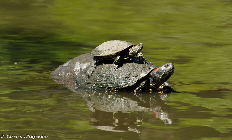 A small Red-earred Slider Turtle uses a larger Red-earred slider as a basking spot