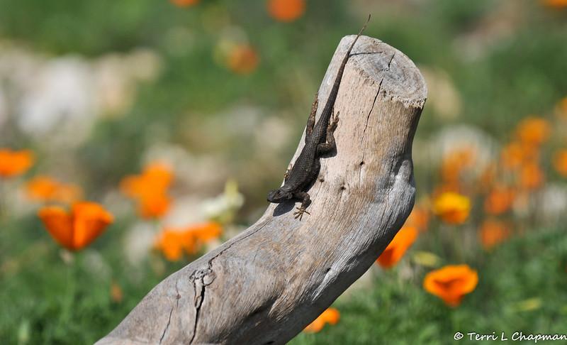 A Fence Lizard among California Poppies